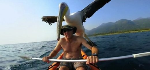 man-saves-pelican